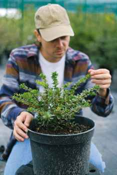 gardener examining leaves on branches of potted plant