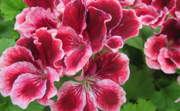 Geranium essential oil is one of my best essential oils for hair. It smells absolutely gorgeous too!