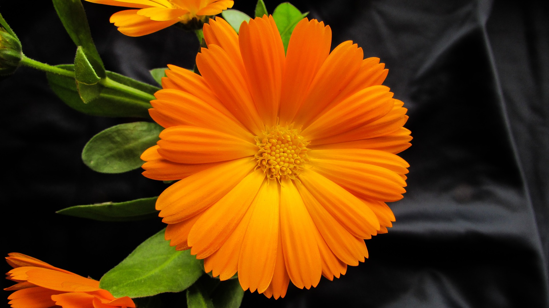 Calendula (calendula officinalis), also known as pot marigold, has been used by herbalists to heal wounds, cuts, burns and scrapes, etc in tincture, salve or cream form.
