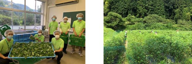 モロヘイヤ100%の青粒 兵庫県上郡町の廃校を活用したモロヘイヤ洗浄・乾燥工場「上郡モロ工場」を開設