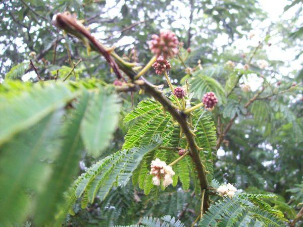 Acacia – Shikakai