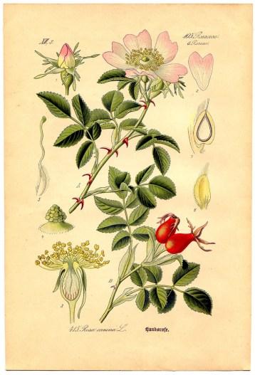 Dr-Hauschka-Crema-alla-rosa-NUOVA FORMULAZIONE-Botanical-rosa-canina
