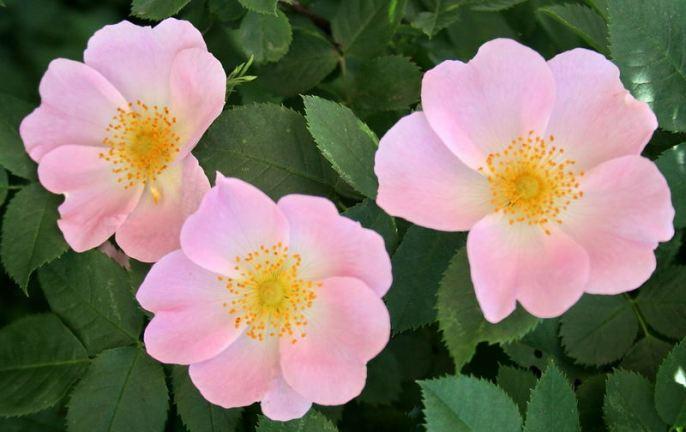 Dr-Hauschka-crema-alla-rosa-Rosa Canina 11
