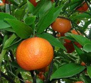 mandarino-Sì-Eau-de-Parfum-Intense
