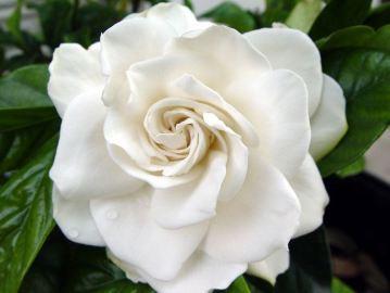 Profumo-del giorno-Junky-Gardenia