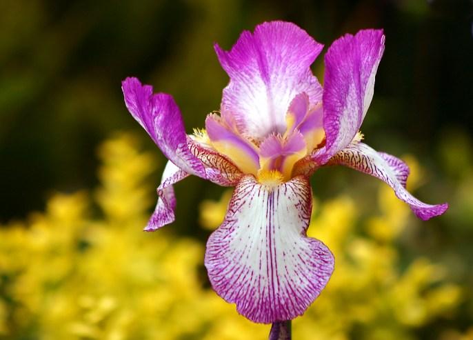Profumo-del giorno-Junky-iris