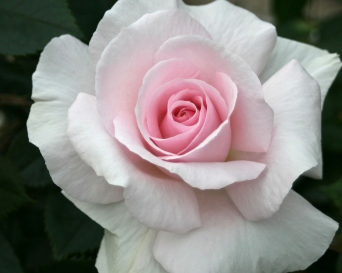 Rosa 'Peafanfare'