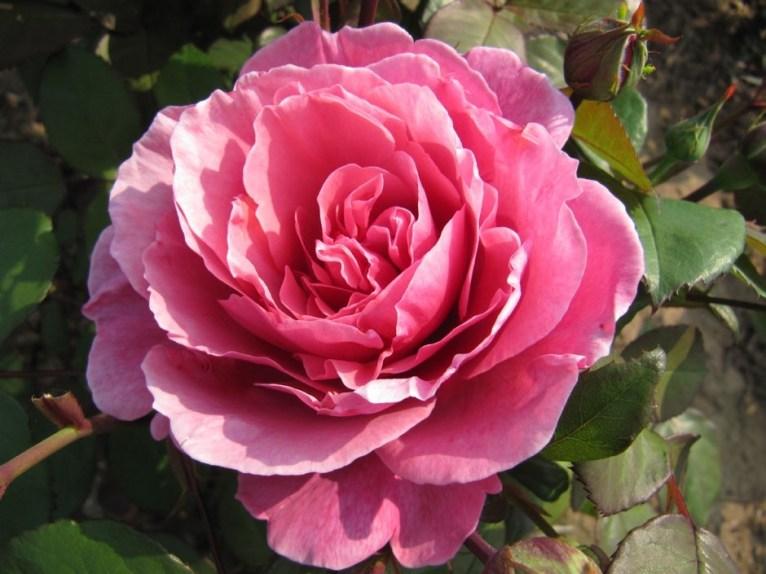 rose-sweet_parfum_de_provence_13_1_