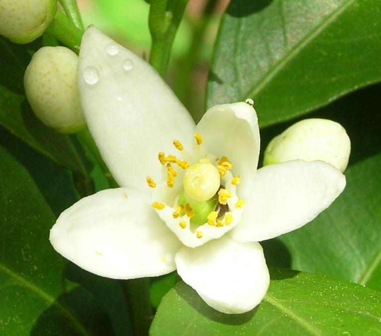Aromatics-in-White-fiori_di_arancio