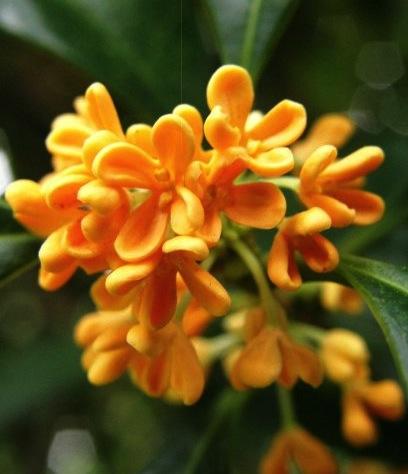 Florabellio-profumo-diptyque-note-olfattive-osmanto