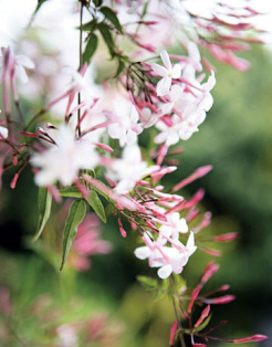 Sedbury-Parfums de Marly-profumo-gelsomino-2