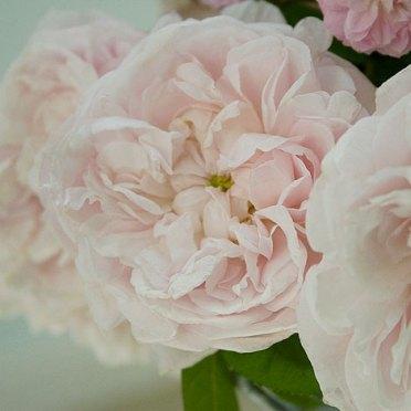 Valentina-Pink-profumo-rosa-centifolia