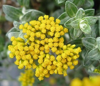 byredo-oliver-peoples-helichrysum