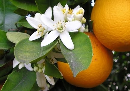 perfume-questionnaire-Céline Verleure-orange-blossoms-