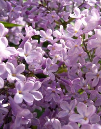 profumo-Rose-Privée-l-artisan-parfumeur-lilla