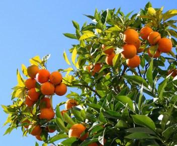 napoli-itinerari-olfattivi-gabriella-chieffo-profumi-albero_arance
