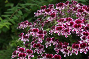 fiori-gerani_NG3
