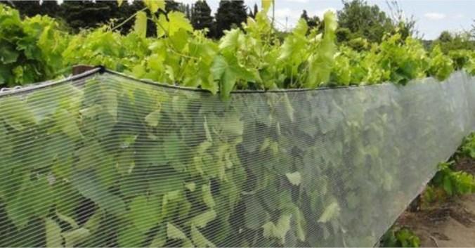 filet vignes blog vin beaux-vins oenologie gelée noire