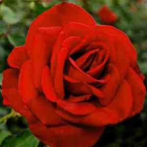 Olympiad Rose