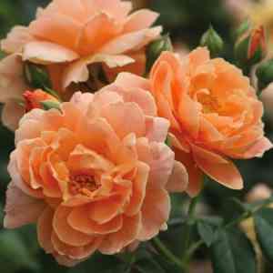 Rosie the Riveter Rose