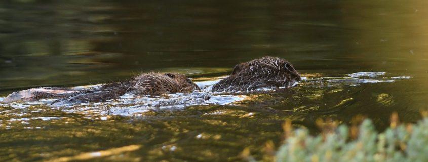 Beaver baby having a free ride. Credit: David Parkyn