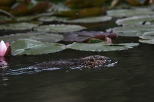 Beaver swimming with lilies. Credit: David Parkyn