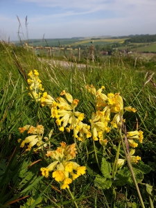 Cowslips above the Kennet. Credit: James Wallace
