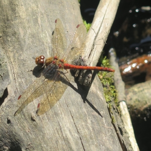 Dragonfly arrives at a beaver pond