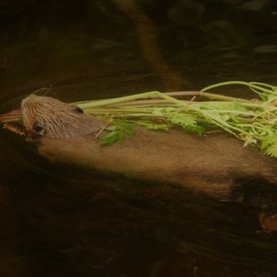 Beaver gathering food. Credit: Gordon Muir, Perthshire