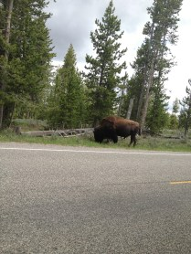 First bison sighting