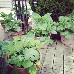 Asian eggplants in pots
