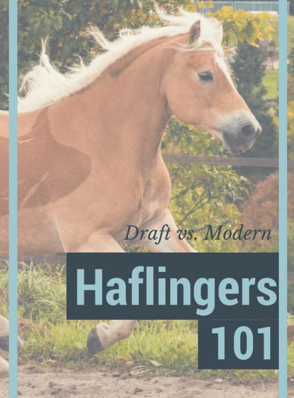 Haflingers 101: Draft vs Modern