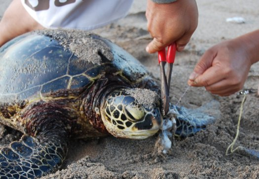 Humans removing fishing line and hook from a sea turtle's mouth.
