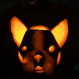 Boston Terrier Jack O' Lantern, lit up