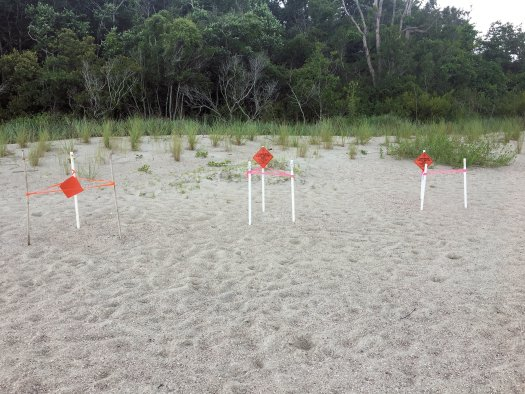 Three loggerhead turtle nests on the north end of the island (Port Royal area), cordoned off by the SC Department of Natural Resources.