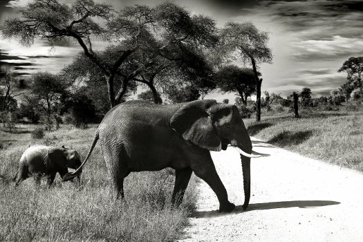 Black and white photo of an African elephant and calf.