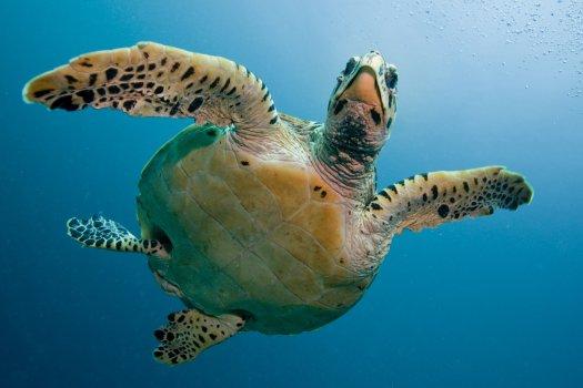 Photo of a sea turtle.