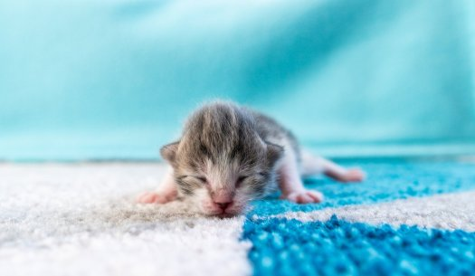 Kitten on blue and white carpet