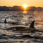 Orcas swimming with sunset