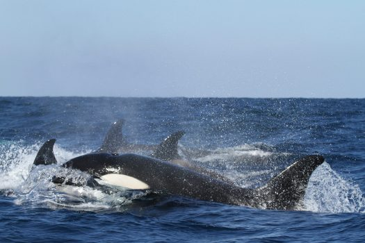 Orca pod in ocean
