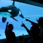 Kiska, a lone orca swimming in a tank with people watching through a glass window, at Marineland. Canada, 2011