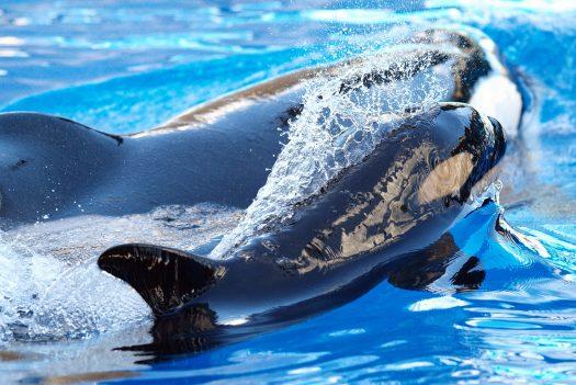Katina and her calf at SeaWorld Orlando