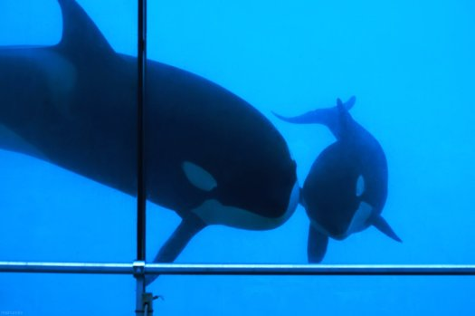 Baby orca and mother at Marineland Antibes