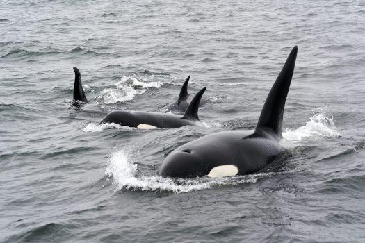 Orca family in open ocean