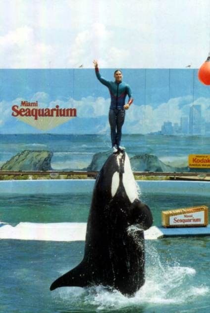 View showing an animal trainer performing with an Orca whale at the Miami Seaquarium attraction.