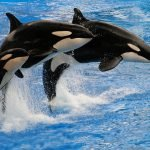 A baby orca with two adults, jumping out of a pool during a performance.