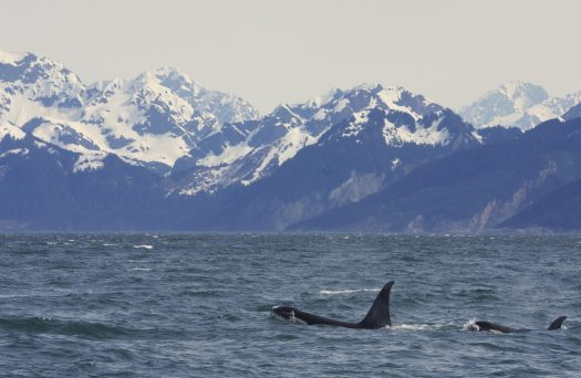 Wild orcas swimming off of the coast of Alaska. Snow covered mountains in background.