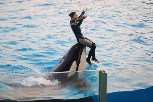 Sea World Kamogawa orca show with trainer sitting on an orca's rostrum.