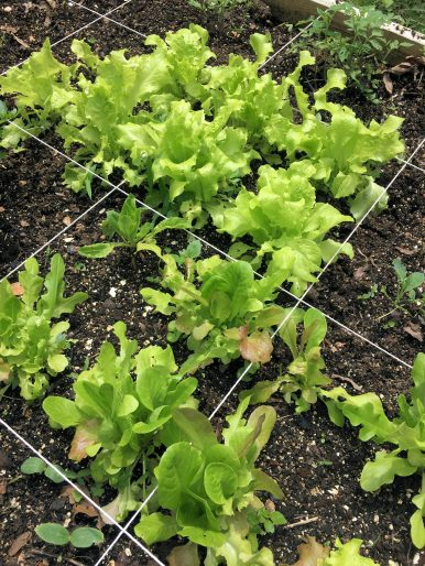 Lettuce I grew in the garden box with compost.