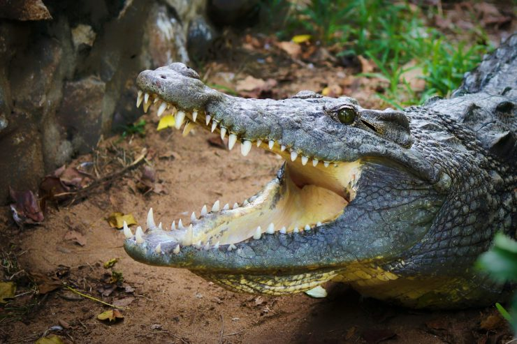 Alligator with its mouth open, showing its teeth.